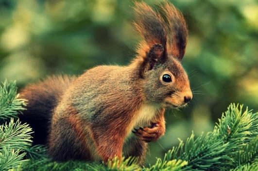 ecureuil-animal