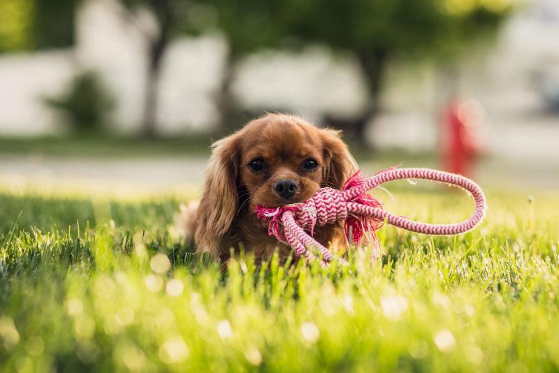un chiot dans l'herbe qui attend pour se promener avec sa laisse dans la gueule